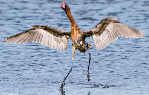 Audubon Announces Comprehensive Gulf Restoration Plan
