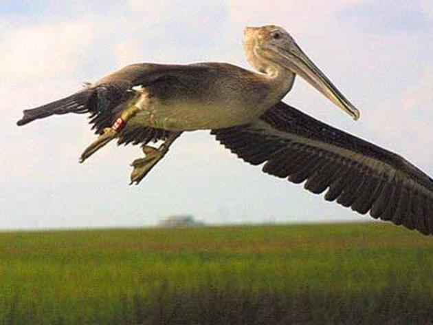 Brown Pelican Removed from Endangered Species List