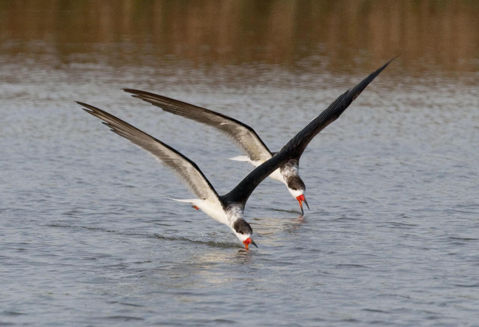 Skimmers birds