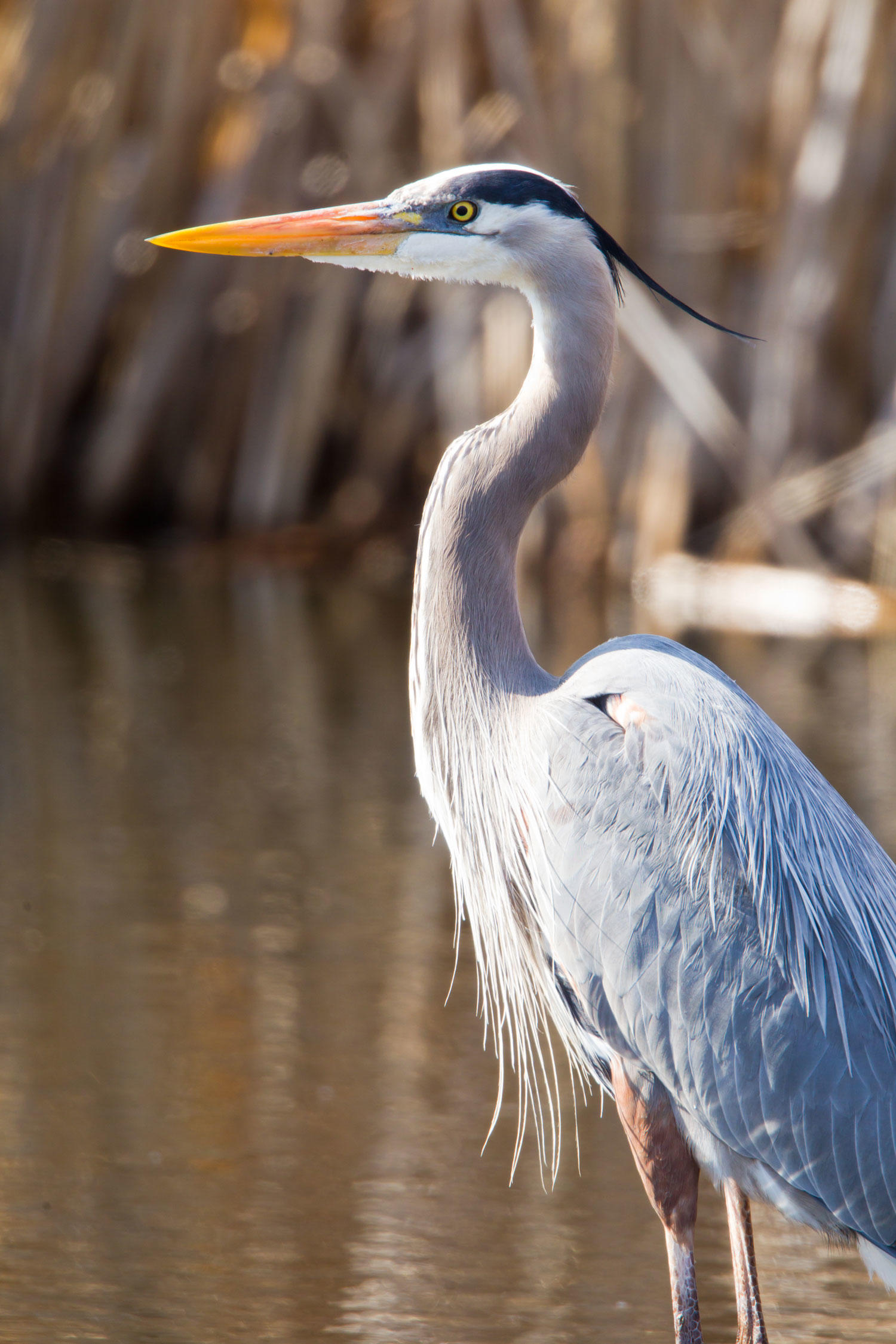 Image Galleries For Lionaid Campaigns: Great Blue Heron