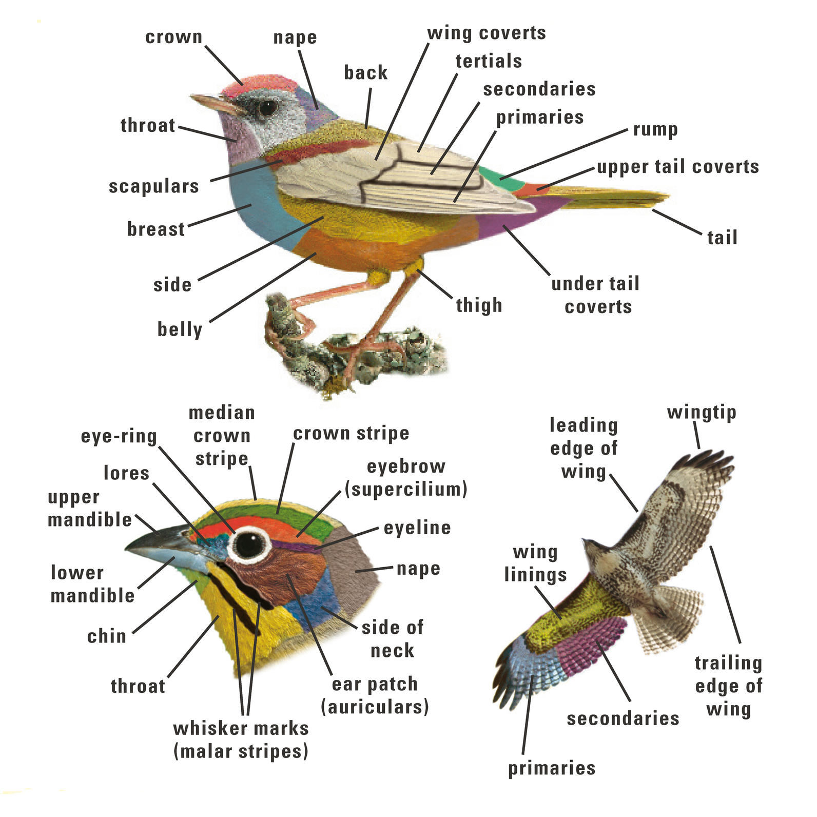 Bird Body Parts : Birding audubon texas
