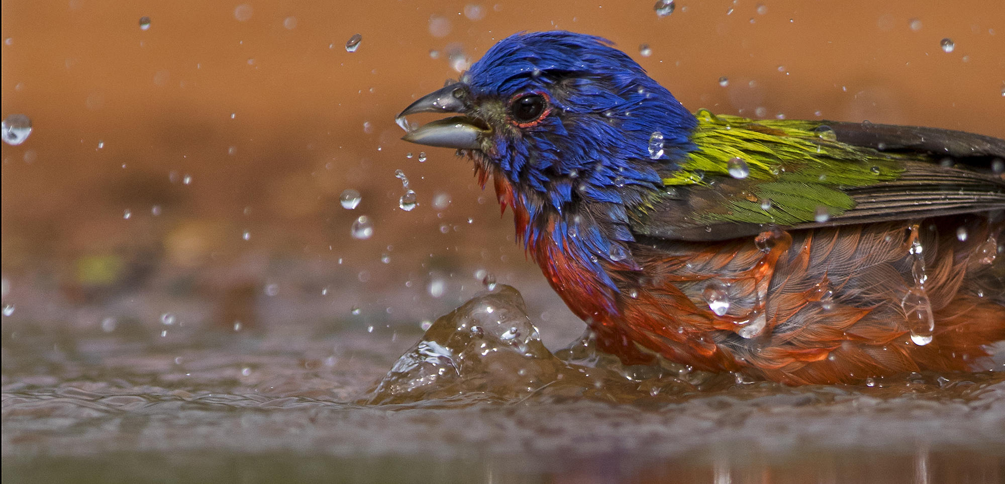 Painted Bunting / Bird City Texas